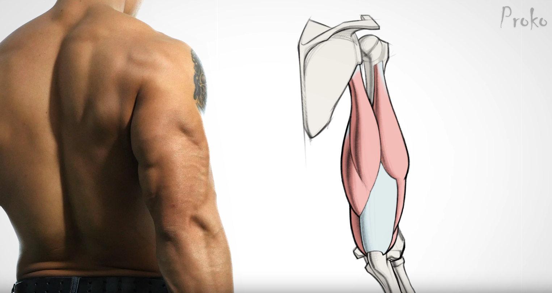 Le site d anatomie et dessin Proko présente une série de vidéos autour du  bras humain 00269f0cc9b