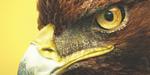 Créer une tête d'aigle avec Maya et ZBrush