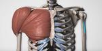 Anatomie : dessiner pectoraux et poitrines