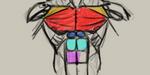 Découvrez le dessin d'anatomie
