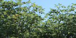 VRayVegetalMtl : un matériau V-Ray / 3ds Max avancé pour vos végétaux