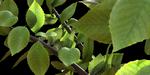 Créer des feuilles à partir de photos, sous Maya et Arnold