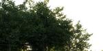 Rendre des feuilles sous V-Ray et 3ds Max