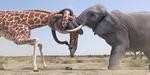 Duel animalier pour le WWF, par Romain Borrel