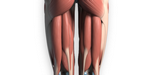 Dessin anatomique : maîtrisez les muscles ischio-jambiers