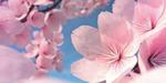 Cerisiers en fleur sous Blender