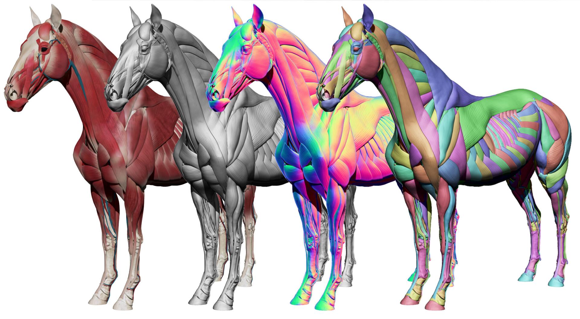 cheval anatomie